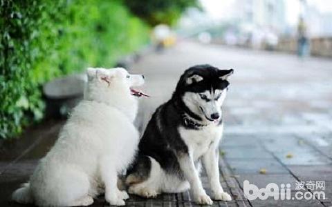 萨摩耶吃什么?萨摩耶不能吃什么?-狗狗品种