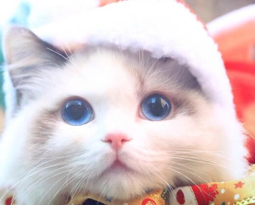 布偶猫喜欢吃什么?不能吃什么食物?
